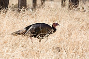 Meleagris gallopavo, wild turkey