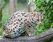 bengal leopard cat