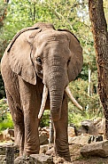 African Elephant Full Body Standing