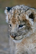 Baby Lion Cub (wild)
