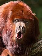 Howling red howler monkey