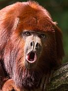 Venezuelan red howler monkey (Alouatta seniculus)