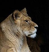 Lioness Profile