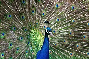 Indian Peafowl???