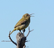 Female Orange-breasted Sunbird singing