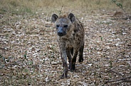 Spotted Hyena (wild)