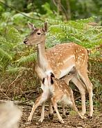 Fallow Deer Doe Suckling her Fawn