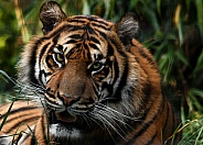 Sumatran Tiger Close Up