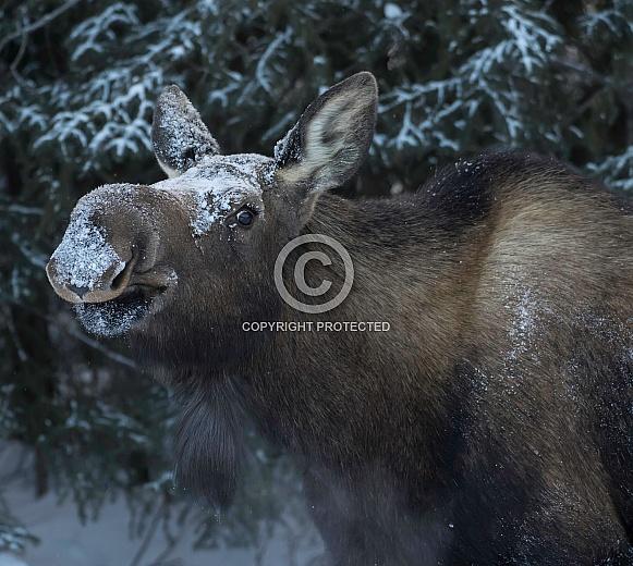 Cow Moose in Winter
