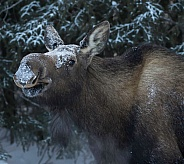 Cow Moose in Winter