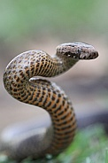 Golden-Crowned Snake