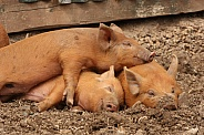 Sleeping Tamworth Pigs