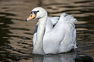 Large white swan on the pond
