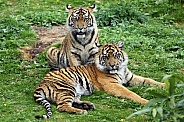 Pair of Sumatran Tigers