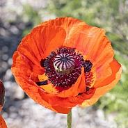 A Oriental Poppy Summertime Blossom