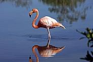 Greater Flamingo - Galapagos Islands