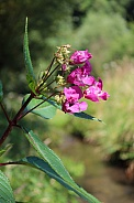 Pink Himalayan Balsam Flower