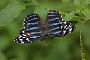 Blue Wave Butterfly