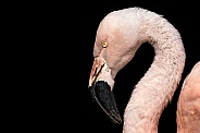 Chilean Flamingo Head Shot Black Background