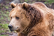 Grizzly Portrait in the Rain
