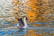 Chinese Goose Swimming