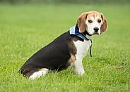 Aged Beagle