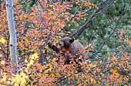 Black Bear in Hawthorn Tree