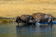 Bison crossing the Firehole