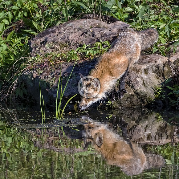 Red Fox with Reflection