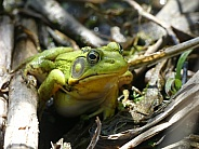Green Frog on Reeds