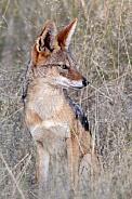 Black-backed jackal - Botswana