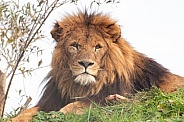 Male African Lion Lying In The Grass
