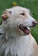 Foxterrier Hybrid Portrait