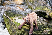 Wild grizzly bear cub