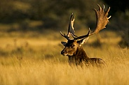 Deer in the evening sun