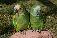 Blue Fronted Amazon Parrots