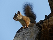Red Squirrel in Dead Tree