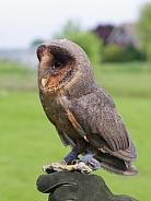 Common barn owl