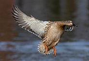 A female Mallard in flight