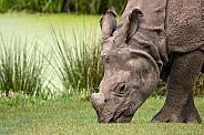 Greater One Horned Rhino Head Shot Grazing