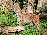 Bobcat in spring