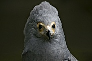 African Harrier Hawk Close Up Head Shot