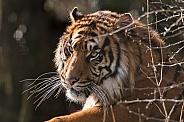 Sumatran Tiger On Hill