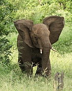 Young Elephant Charging