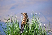 Female Red-Winged Black Bird