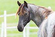 Blue Roan Horse