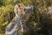 Snow Leopard Cub In Grass