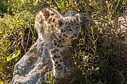 Snow Leopard Cub In Grass