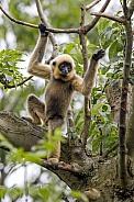 Yellow Cheeked Gibbon (Nomascus Gabriallae)