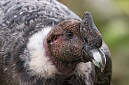Andean Condor Close Up Side Profile